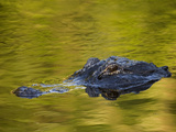 American Alligator at an Alligator Farm  St Augustine  Florida  USA