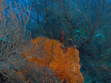 Deep Water Sea Fan and Encrusting Orange Sponge  Hol Chan Marine Preserve  Barrier Reef  Belize