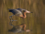 Reddish Egret Reflected in Water and Preparing to Take Off  Ft Myers Beach  Florida  USA