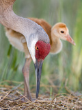 Close-up of Sandhill Crane and Chick at Nest  Indian Lake Estates  Florida  USA