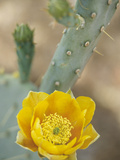 Prickly Pear Cactus in Bloom  Arizona-Sonora Desert Museum  Tucson  Arizona  USA