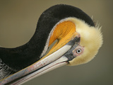 Close-up of Brown Pelican Preening  La Jolla  California  USA