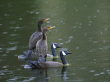 Cormorants on Decoys  Florida  USA
