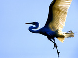 Great Egret in Flight  St Augustine  Florida  USA