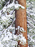 Fresh Snow on Red Fir Trees  Sierra Nevada Mountains  California  USA