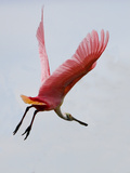 Roseate Spoonbill in Flight  Tampa Bay  Florida  USA