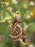 Cecropia Moth on Alium Flowers