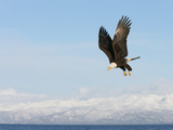 Bald Eagle in Flight with Upbeat Wingspread  Homer  Alaska  USA