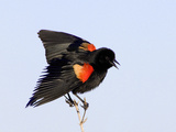 Red-Winged Blackbird Clings to Branch at Sunrise  Merritt Island  Florida  USA