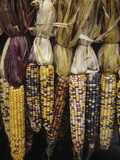 Indian Corn on Display  Acton  Massachusetts  USA