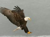Bald Eagle in Landing Posture  Homer  Alaska  USA