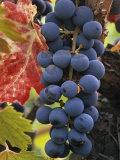 Detail of Cabernet Savignon Grapes on the Vine in Napa Valley  California  USA