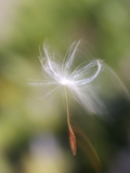 Close-up of Dandelion Seed Blowing in the Wind  San Diego  California  USA