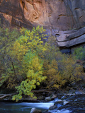 Fall Color on Virgin River  Zion National Park  Utah  USA