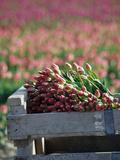 Tulip Fields Near La Conner  Skagit Valley  Washington  USA