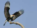 Crested Caracara Landing on Tree Branch  Cozad Ranch  Linn  Texas  USA
