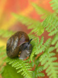 Snail on Fern in Fall  Adirondacks  New York  USA