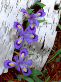 Dwarf Lake Iris Growing Through Birch Bark  Upper Peninsula  Michigan  USA
