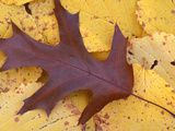Northern Red Oak Leaf in Fall  Sandy Point Trail  New Hampshire  USA