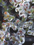 Azalea Plants Encased in Ice  Portland  Oregon  USA