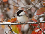 Adult Black-capped Chickadee in Snow  Grand Teton National Park  Wyoming  USA
