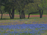Texas Blue Bonnets and Oak Trees  Nixon  Texas  USA