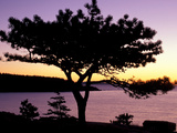 Pitch Pine  Ocean Drive at Sunrise  Acadia National Park  Maine  USA