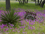 Wooden Cart in Field of Phlox  Blue Bonnets  and Oak Trees  Near Devine  Texas  USA