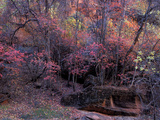 Fall Color in Zion National Park  Utah  USA