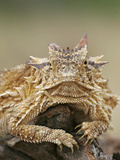 Horned Lizard or Toad Rests on Tree Stump  Cozad Ranch  Linn  Texas  USA