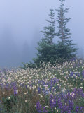 Lupine and Bistort Meadow  Hurricane Ridge  Olympic National Park  Washington  USA