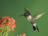 Ruby-Throated Hummingbird in Flight Feeding on Kalanchoe Flower  New Braunfels  Texas  USA