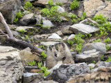 Pair of Marmots Kissing in Glacier National Park  Montana  USA