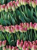 Pink Tulips  Skagit Valley  Washington  USA