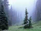 Fir Trees and Fog  Mt Rainier National Park  Washington  USA