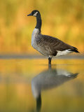 Portrait of Canada Goose Standing in Water  Queens  New York City  New York  USA