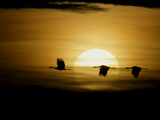 Silhouettes of Sandhill Cranes  Bosque Del Apache National Wildlife Reserve  New Mexico  USA