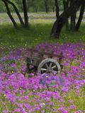 Wooden Cart in Field of Phlox, Blue Bonnets, and Oak Trees, Near Devine, Texas, USA Papier Photo par Darrell Gulin