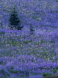 Lupine and Bistort Meadow in Paradise Valley  Mt Rainier National Park  Washington  USA