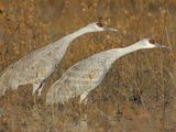Sandhill Cranes in Marsh Prepare for Takeoff  Bosque Del Apache National Wildlife Reserve
