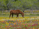 Quarter Horse in Wildflower Field Near Cuero  Texas  USA