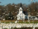 Masses of Snow Geese in Agricultural Fields of Skagit Valley  Washington  USA