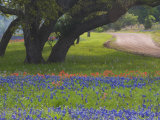 Oak Trees  Blue Bonnets  and Indian Paint Brush  Near Gay Hill  Texas  USA