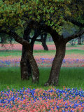Texas Wildflowers and Dancing Trees  Hill Country  Texas  USA