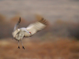 Abstract of Sandhill Crane Landing  Bosque Del Apache National Wildlife Reserve  New Mexico  USA