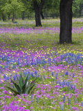 Agave in Field of Texas Blue Bonnets  Phlox and Oak Trees  Devine  Texas  USA