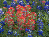 Field of Texas Blue Bonnets and Indian Paintbrush  Texas Hill Country  Texas  USA
