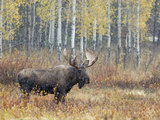Bull Moose in Snowstorm with Aspen Trees in Background  Grand Teton National Park  Wyoming  USA