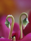 Cyclamen with Water Drop  Pennsylvania  USA