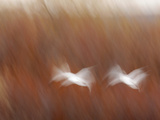 Abstract of Snow Geese in Flight  Bosque Del Apache National Wildlife Reserve  New Mexico  USA
